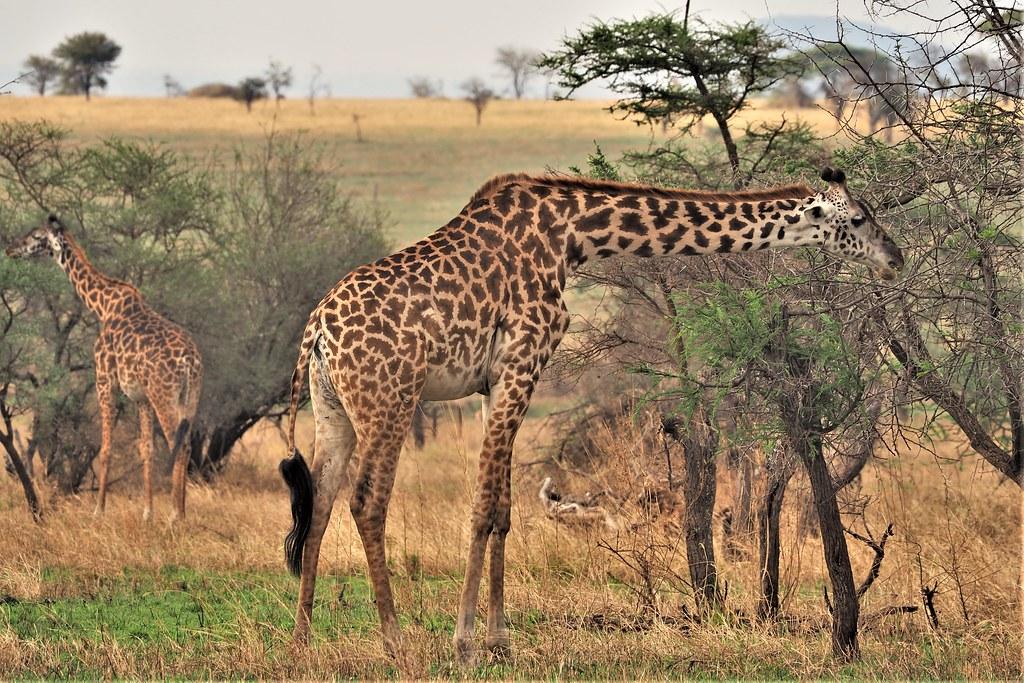 P8310613 Udare Big 5+5 Serengeti jirafas (2)