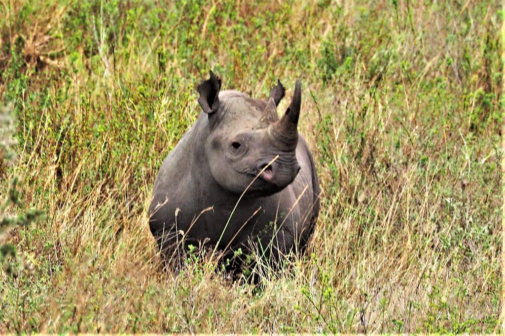 P9010662 Udare Big 5+5 Serengeti Rinoceronte negro (2)