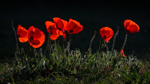 Poppies | by _Ard_