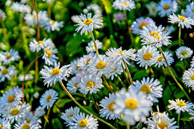 Crowd of Daisies