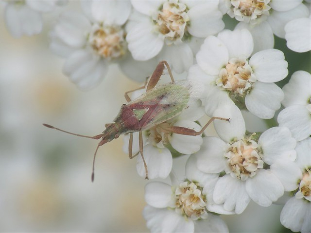 small insect on common yarrow