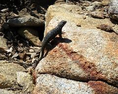 Sierra Fence Lizard - Sceloporus occidentalis taylori (Camp, 1916) 4