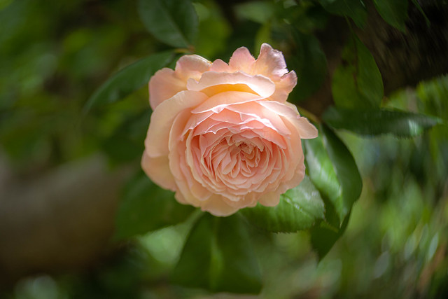 Rose in the Apple Tree