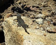 Sierra Fence Lizard - Sceloporus occidentalis taylori (Camp, 1916) 8