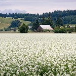 Radish Seed Field - Willamette Valley, Oregon