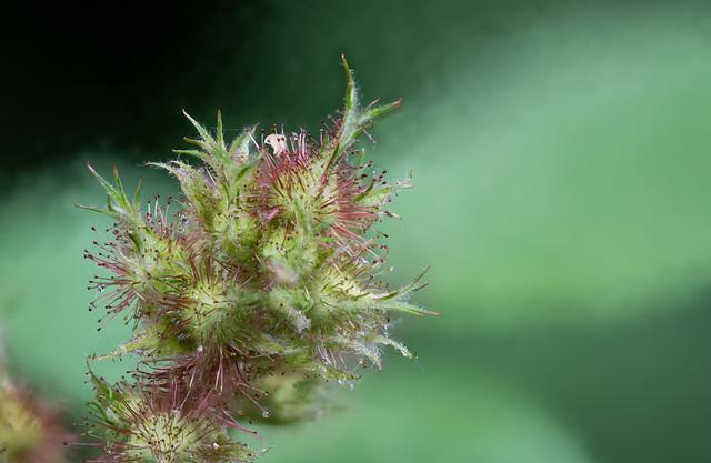 Raspberry dewdrops