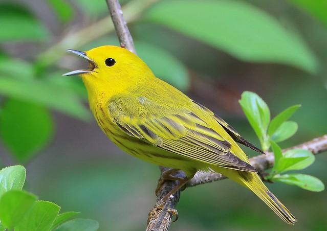 Yellow Warbler. Edmonton. AB.