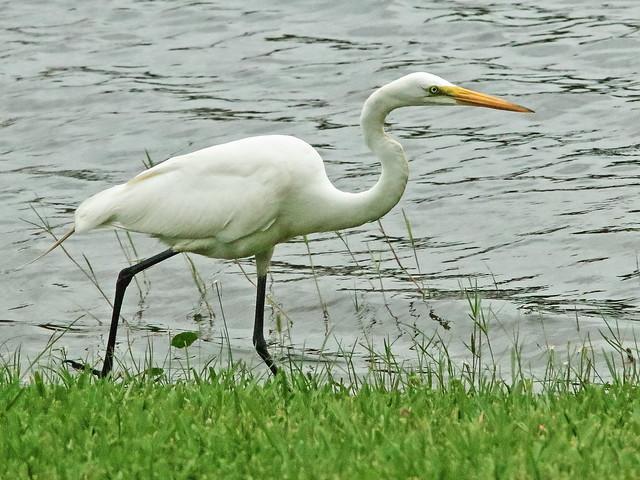 Great Egret running 04-20200606