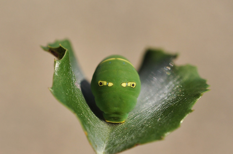 Pale Swallowtail Caterpillar