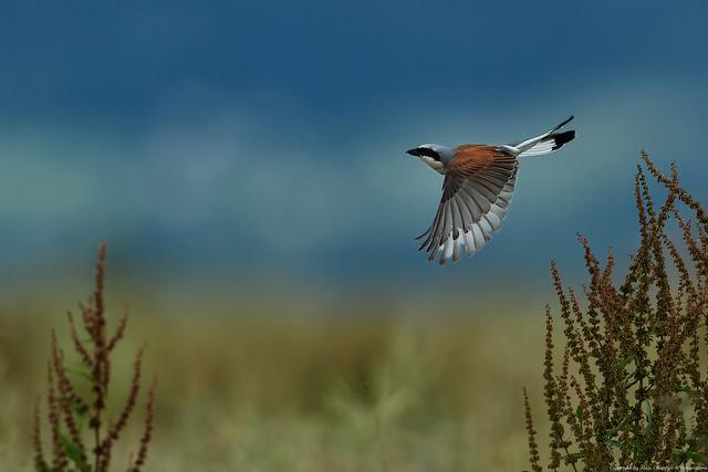 Pie-grièche écorcheur (Lanius collurio) - Red-backed Shrike