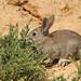 Oryctolagus cuniculus   Lapin de garenne   European Rabbit