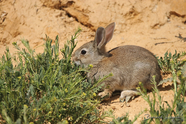 Oryctolagus cuniculus | Lapin de garenne | European Rabbit