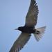 Flickr photo 'Black Tern' by: pchgorman.