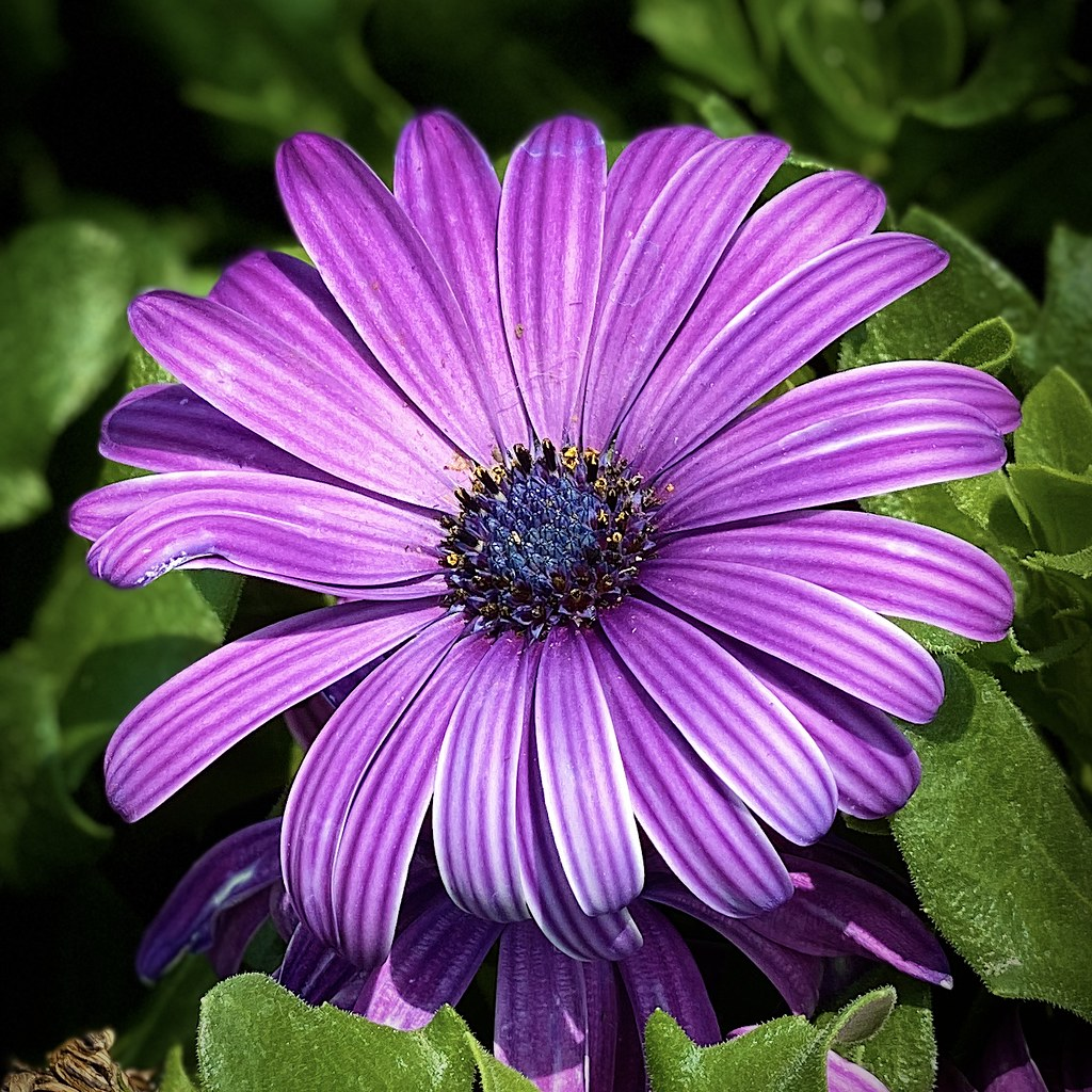 Dreaming Purple Daisy