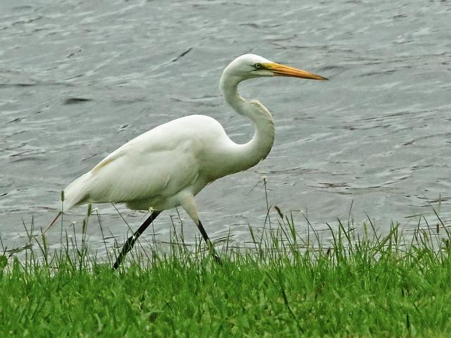 Great Egret running 01-20200606