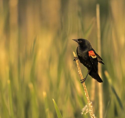 2020 june kevinpovenz westmichigan michigan ottawa ottawacounty ottawacountyparks outdoors outside jenison maplewoodpark redwingedblackbird bird canon7dmarkii sigma150600 nature evening dusk