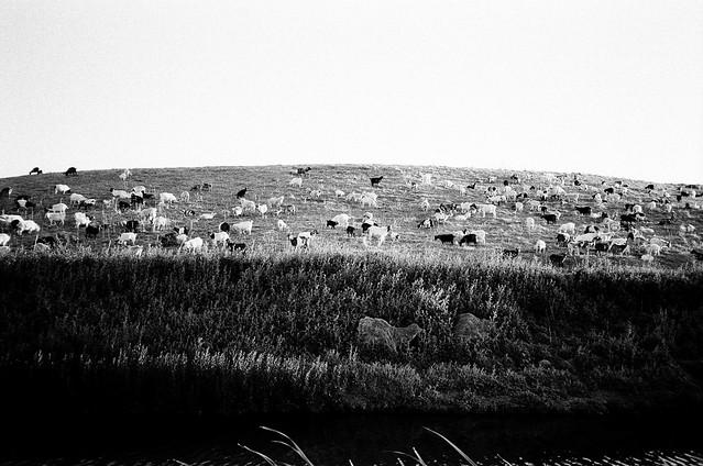 Bayshore Goats // April 2013