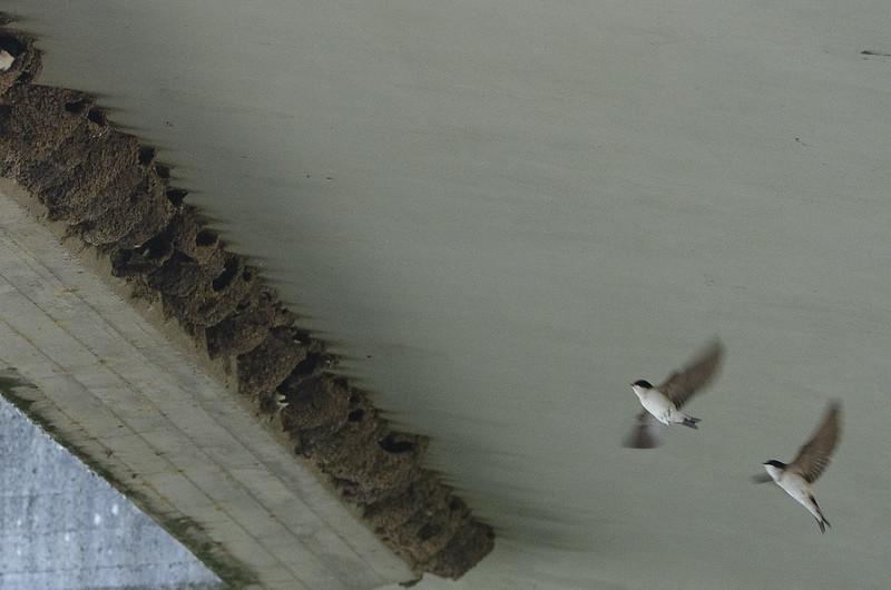 Mehlschwalbenkolonie unter einer Brücke