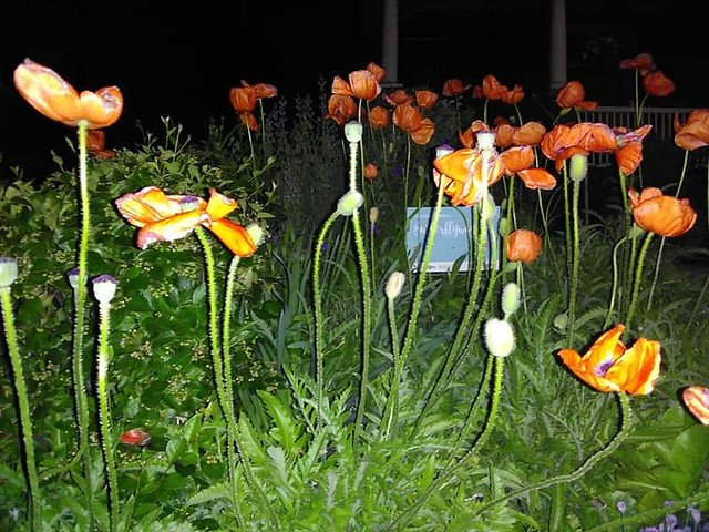 Red poppies in the night, Concord Avenue #toronto #dufferingrove #concordave #flowers #red #poppy #night