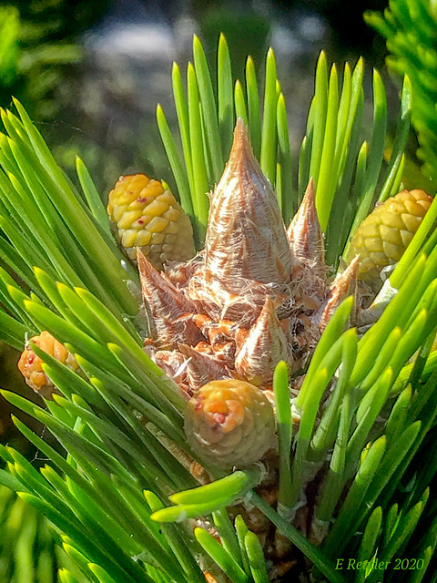 Austrian Pine (Pinus nigra)