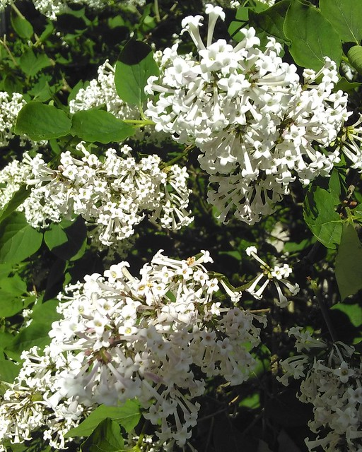 Young lilac, Havelock Street #toronto #dufferingrove #havelockstreet #flowers #lilacs