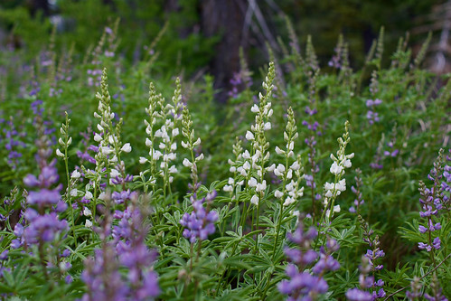 Purple and White Lupines