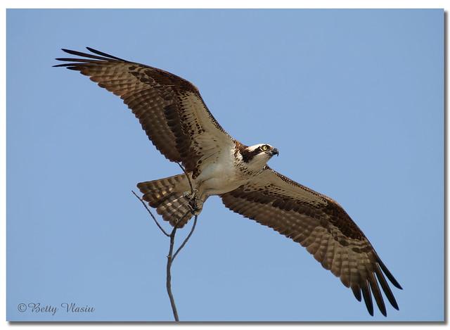 Osprey Flight ( female )