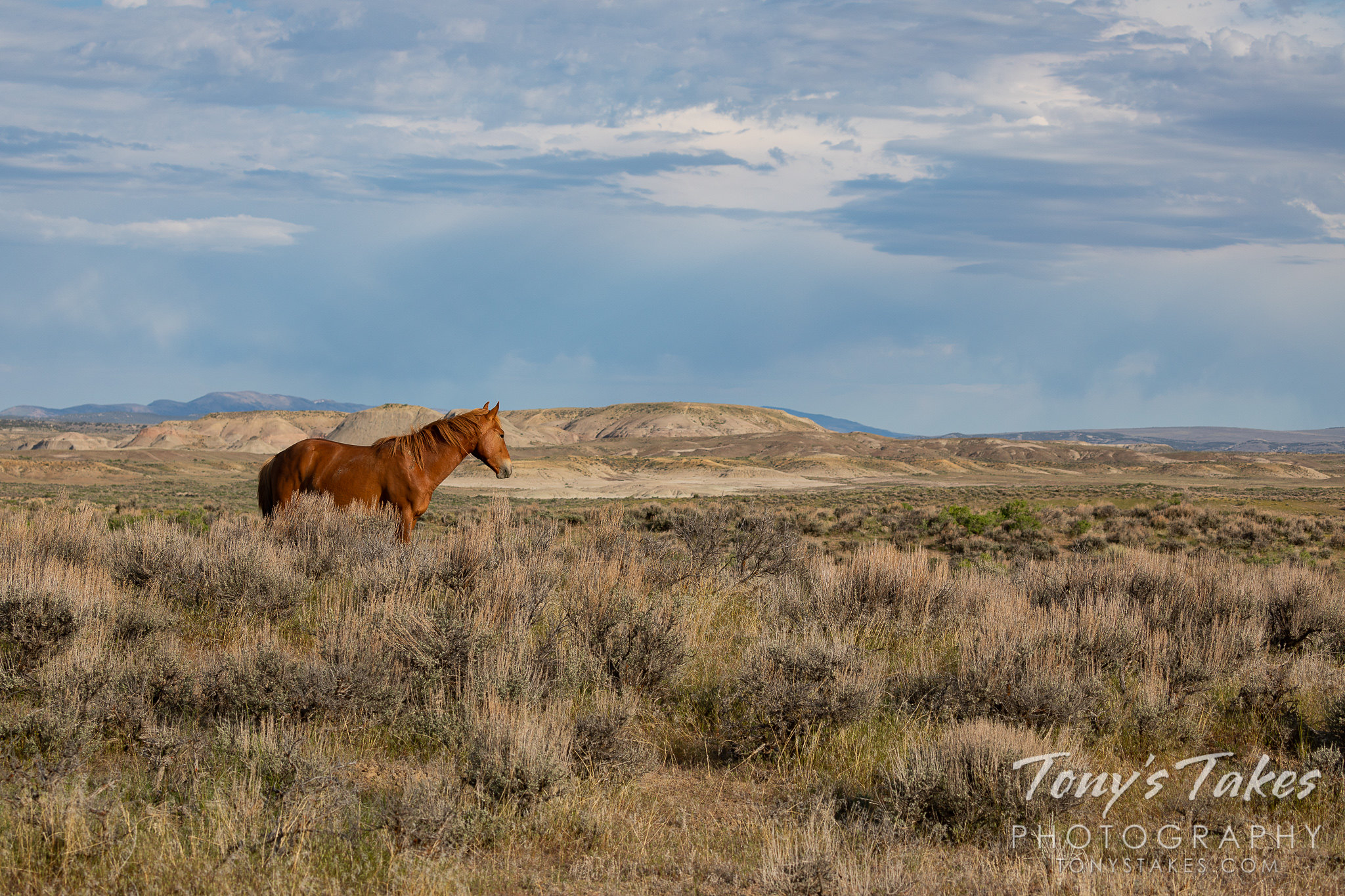 Mustang stallion surveys its domain