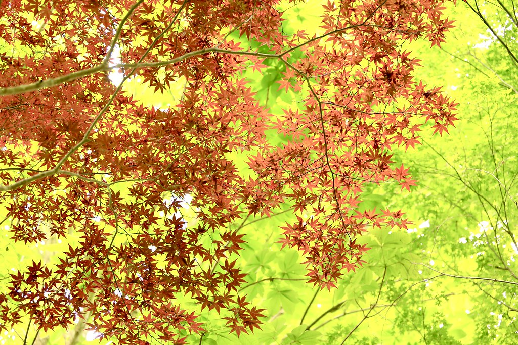 春紅葉 / Autumn leaves in Spring