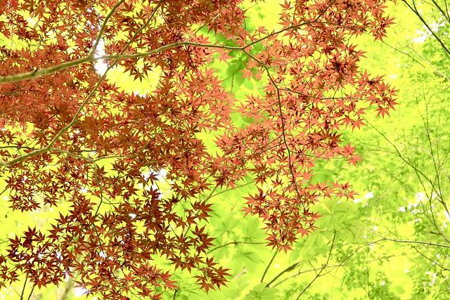 春紅葉 / Autumn leaves in Spring