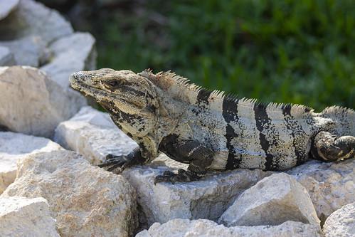 Iguana, Valentin Imperial Riviera Maya, Mexico