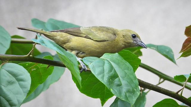 Sanhaçu-do-coqueiro - Palm Tanager