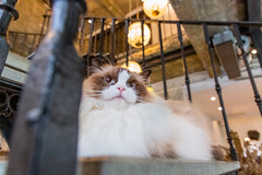 Rag-doll Cat in the Cafe 布偶貓咪醬