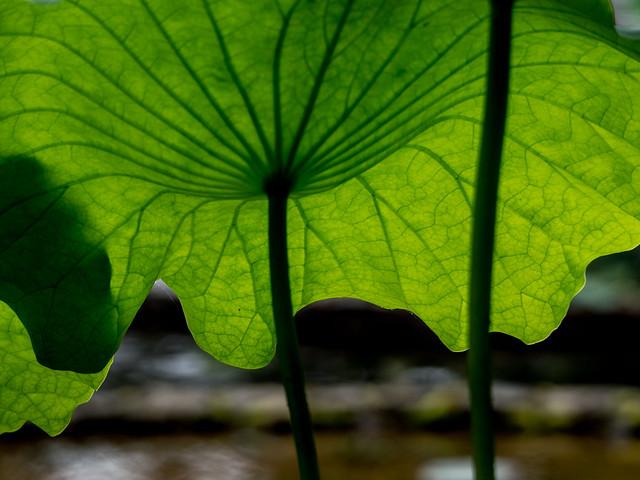 Under the lotus leaf
