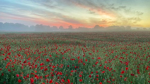 ashewarren basingstoke hampshire england poppies poppy nature field red papaver papaveraceae sunrise mist morning iphone apple redskyinthemorning