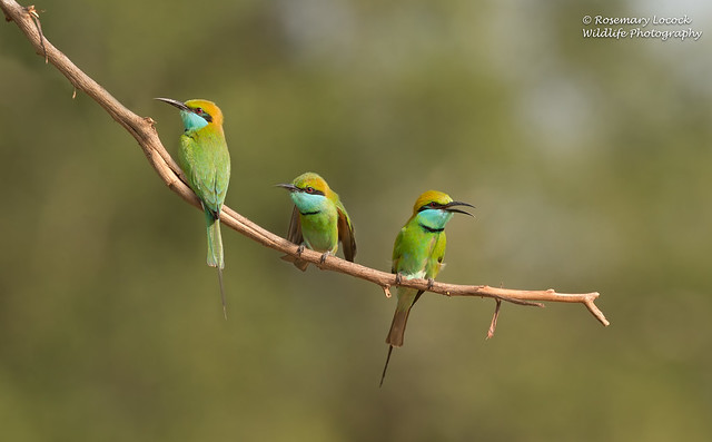 Green bee-eaters - Merops orientalis