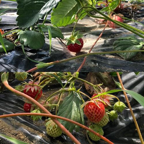 1日一個収穫ペースのイチゴ。品種が違うと赤くなるペースも違うんだなー。