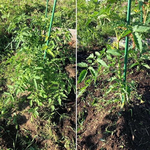 トマトほったらかしといたら完全に支柱から逸れてた。誘引しなおして芽かきして雑草適当に取って土寄せしといた。