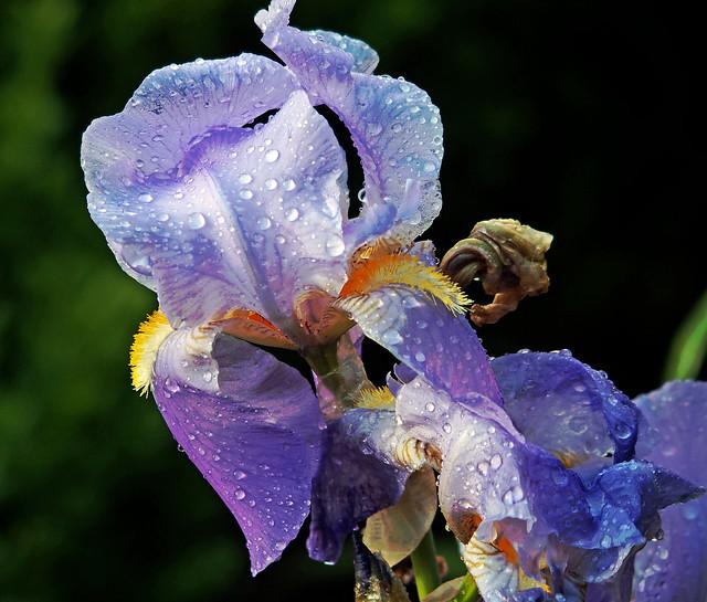 blaue Iris im Regen