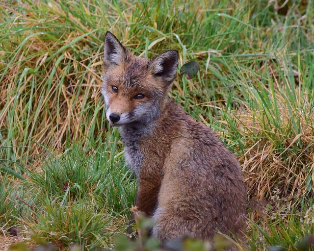 Fox cub in the rain