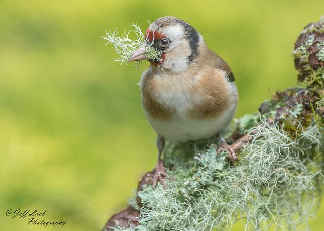 JWL5355  Goldfinch...