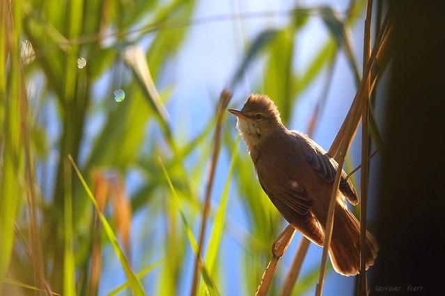 Great Reed Warbler / Trzciniak