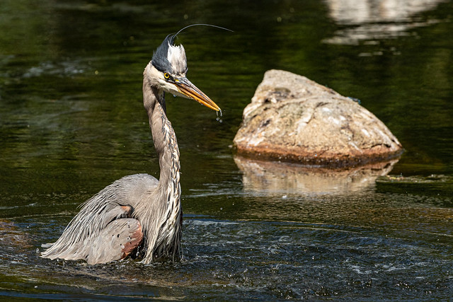 Great Blue Heron drying off.