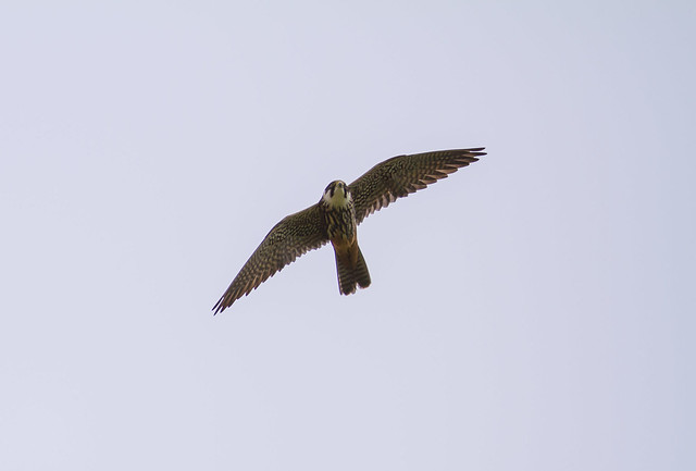 Falco Lodolaio. (Falco Subbuteo).