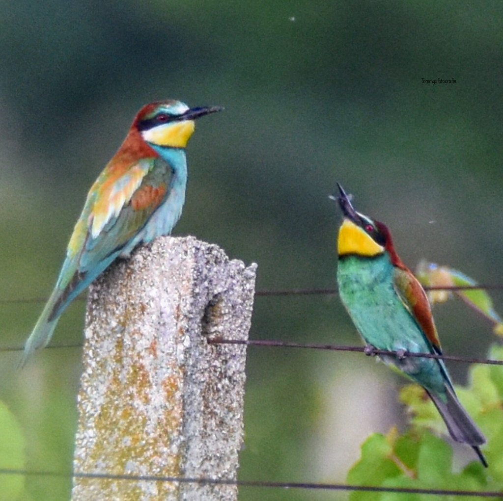 Young bee eater get food. Merops apiaster