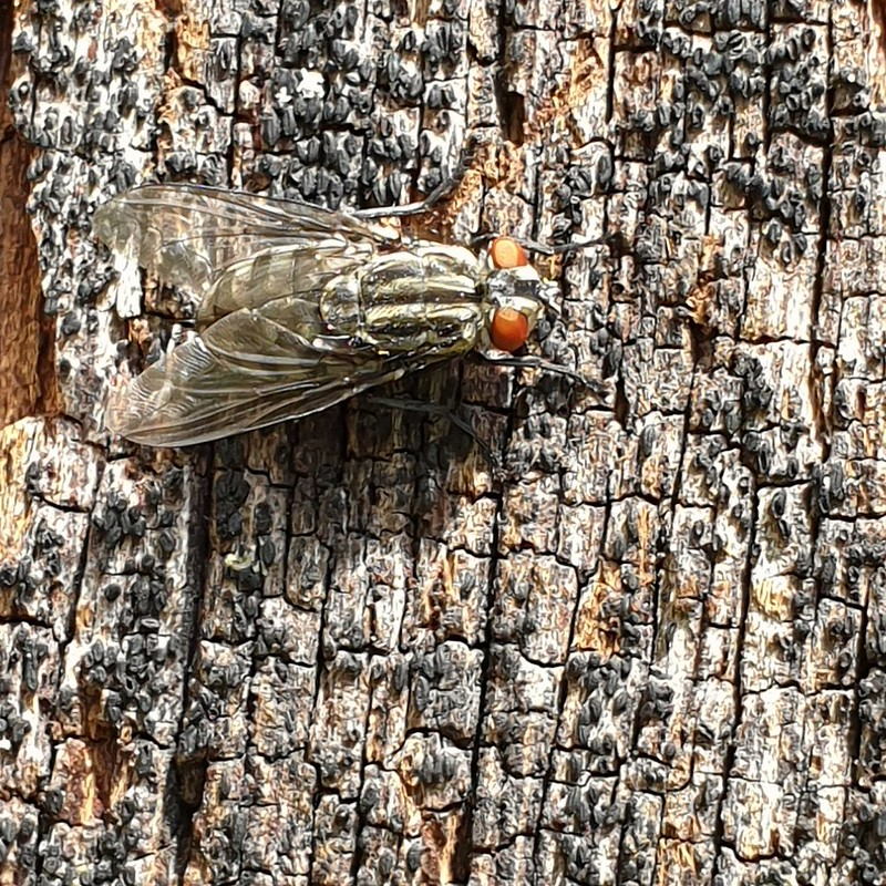 Dambordvlieg - common flesh fly