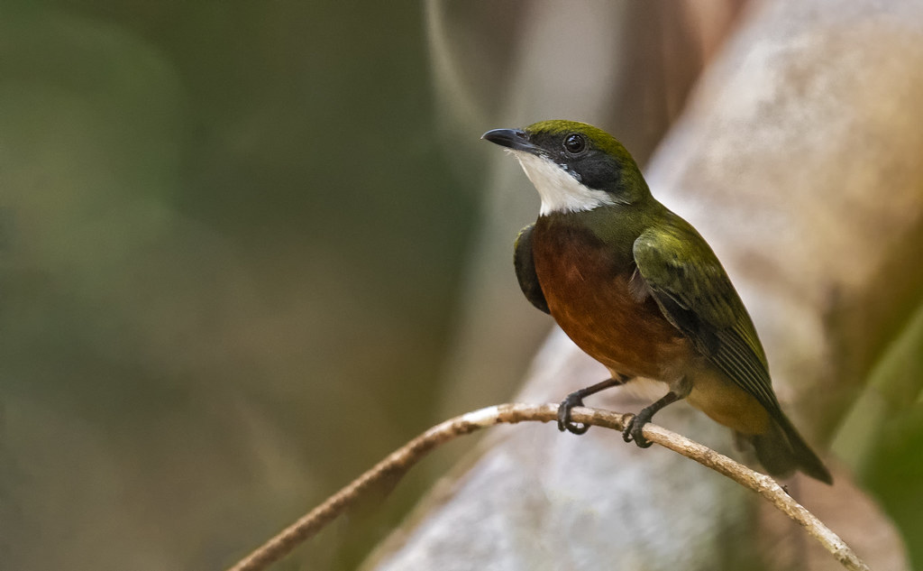 Heterocercus flavivertex - Yellow-crowned Manakin - Saltarín Crestiamarillo - Saltarín Collarejo 09