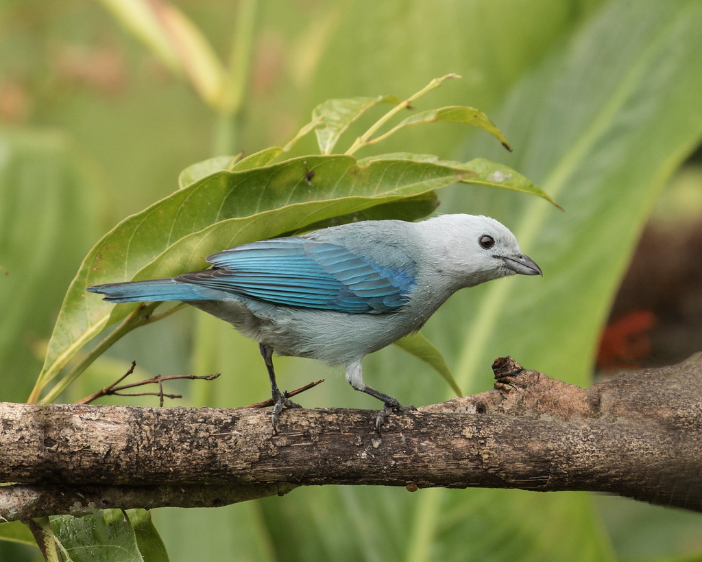 015A4555 Blue-gray Tanager