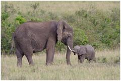 Maasai Mara in Kenia ........