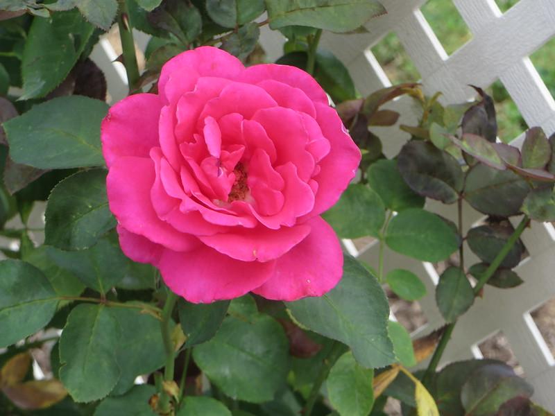 Roses in August q